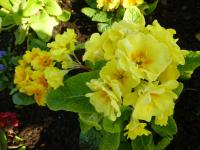 Prvosenka 'You and Me Yellow' (Primula x polyantha)
