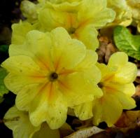 Prvosenka 'You and Me Yellow' - květ (Primula x polyantha)