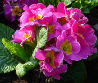 Prvosenka 'You and Me Rose' (Primula x polyantha)