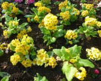 Prvosenka 'You and Me Golden' (Primula x polyantha)