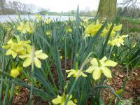 Narcis 'Pipit' (Narcissus x hybridus)