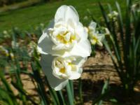 narcyz Narcissus  'Cheerfulness'