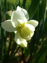 Narcissus    'Cheerfulness'  narcyz kwiaty
