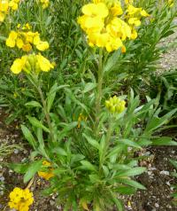 Erysimum cheiri   'Cloth of Gold'  lak pospolity roślina