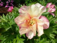 Pivoňka 'Julia Rose' (Paeonia intersectional hybrid)