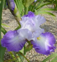 Kosatec bradatý 'Sighs And Whispers' (Iris barbata elatior)