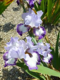 Iris barbata 'Everything Plus'  Kosaciec bródkowy kwiaty