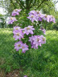 (Clematis) Plamének 'Crystal Fountain'