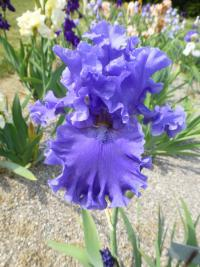 Kosatec bradatý 'Sea Power' (Iris barbata elatior)