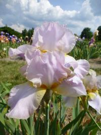 Iris barbata 'May Magic'  Kosaciec bródkowy kwiaty