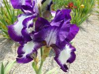 Kosatec bradatý 'Going My Way' (Iris barbata elatior)