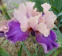 Kosaciec bródkowy Iris barbata  'My True Love'