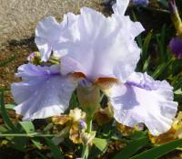 (Iris barbata elatior) Kosatec bradatý 'Ice for Brice'