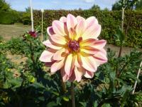 dalia Dahlia  'Happy Butterfly'