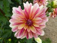 Dahlia        'Happy Butterfly'  dalia kwiaty