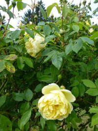 Rosa  'Yellow Romantica' - róża