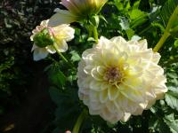 Dahlia  'Alloway Cottage' - dalia