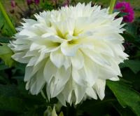 Jiřina 'Gitts Attention' (Dahlia)