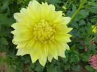 dalia Dahlia  'Harvest Moonlight'