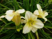 Denivka 'Snowy Apparition' (Hemerocallis hybrida)