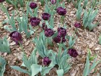 Tulipa  'Black Hero' - tulipan