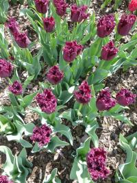 Tulipa  'Black Jewel' - tulipan