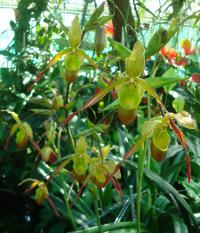 Phragmipedium (Phragmipedium longifolium)
