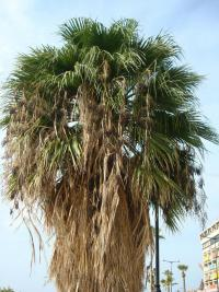 Washingtonie (Washingtonia robusta)