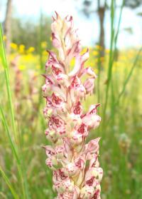Orchis (Orchis coriophora)