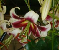 Lilie Beverly Dream (Lilium)