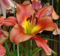 Lilie Satisfaction (Lilium)
