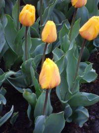 Tulipán Holland Emotions (Tulipa x hybrida)