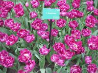 Tulipán Royal Acres (Tulipa x hybrida)