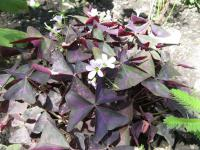 Šťavel trojhranný (Oxalis triangularis)