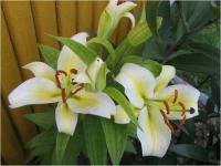 Lilium x hybridum 'Time Out'  lilia kwiaty