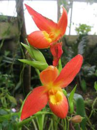 Phragmipedium 'Don Wimber' (Phragmipedium)