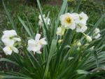Narcis 'Rose Sunrise' (Narcissus x hybridus)