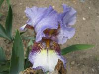 Kosatec bradatý 'On the Go' (Iris barbata elatior)