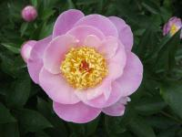 Pivoňka čínská 'Gleam of Light' (Paeonia lactiflora)