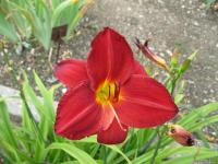 Denivka 'Chicago Brave' (Hemerocallis hybrida)