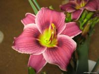 Denivka 'Little Missy' (Hemerocallis hybrida)