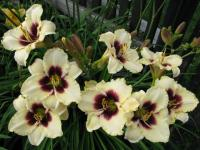 (Hemerocallis hybrida) Denivka 'Piano Man'