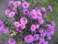 Symphyotrichum novae-angliae  'Kate Bloomfield' - aster nowoangielski