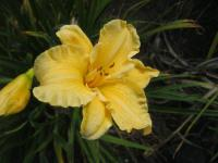 Denivka 'Golden Scroll' (Hemerocallis hybrida)