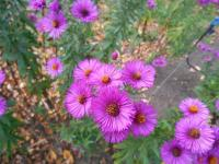 Symphyotrichum novae-angliae  'Andenken an Paul Gerber'  aster nowoangielski roślina