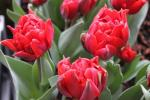 Tulipán 'Red Princess' (Tulipa x hybrida)