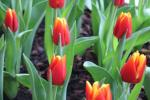 Tulipa      'Reputation'  tulipan kwiaty
