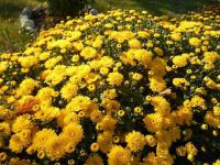 Chryzantéma (Chrysanthemum)