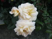 Růže 'Lions Rose' (Rosa sp)