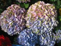 Hydrangea macrophylla   'Magical Four Seasons' - hortensja ogrodowa